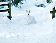 animals, gate gap, hare, mammals, mountain hare, snow, winter