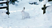 animals, gate gap, gate gap, hare, mammals, mountain hare, snow, winter