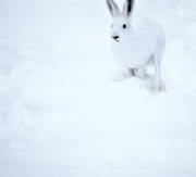 animals, camouflage, gnawer, hare, hare, hopping, lolloping, leap, mammals, mountain hare, runs, snow, white, white, winter