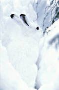 animals, camouflage, hare, mammals, mountain hare, snow, white, winter