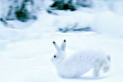 animals, hare, mammals, mountain hare, snow, white, winter