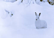 animals, black-and-white, hare, hare, mammals, mountain hare, snow, swedish hare, white, winter
