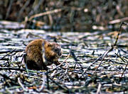 animals, fur animal, gnawer, mammals, musk rat, muskrat