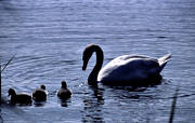 animals, birds, mute swan, swan, swans