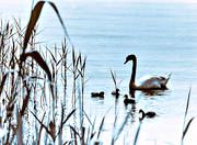 animals, birds, family, idyll, mute swan, swan, swans