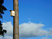 animals, bird, birds, blue, little bird, nesting box, passeriform, passeriformes, pine, pine, sky, small birds, såglar, white grouse