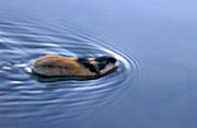 animals, gnawer, lemming, mammals, norway lemming, rodents, swim, swimming, vatten, water