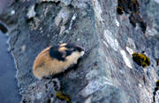 animals, gnawer, lemming, mammals, norway lemming, rodents, stone, vatten, water