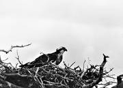 animals, bird, bird of prey, birds, black-and-white, osprey, raptors