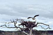 animals, bird, bird of prey, birds, birds nest, nest, nest of bird of prey, osprey, raptors