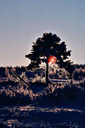 ambience, ambience pictures, atmosphere, backlight, branches, christmas, christmas ambience, christmas card, christmas pictures image, cold, pine, relief, season, seasons, snow, snow landscape, winter