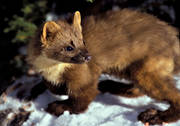 animals, close-up, mammals, pine marten, predator, predators, snow, winter