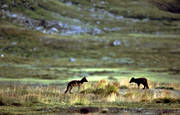 animals, arctic fox, arctic fox pupies, game, mammals, mountains, play, playing, puppies