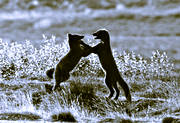 animals, arctic fox, arctic fox pupies, black-and-white, fox, foxes, game, kidding, mammals, playing, polar fox, prank, puppies
