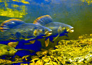 animals, fish, game, grayling, graylings, graylings mating, play ground, underwater photo, underwater picture