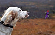 alpine hunting, animals, bird dog, bird hunting, dogs, english setter, hunting, mammals, pointing dog, setter, white grouse hunt