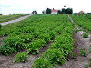 agriculture, crop land, cultivation, land, potato, potato field, potato field, potato field, potatoes, Rodon, work