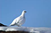 animals, birds, ptarmigan, ptarmigan, snow, winter, winter shroud