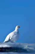 animals, birds, blue, ptarmigan, ptarmigan, sky, snow, winter