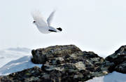 animals, birds, flies, flying, lake, lifts, ptarmigan, ptarmigan, skaarn, winter