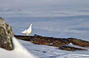 animals, bare ground, birds, piece of snow-free ground, ptarmigan, ptarmigan, snow, snow-free ground, winter