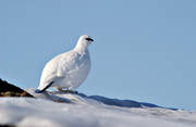 alpine bird, animals, bird, birds, ptarmigan, ptarmigan, skaarn, winter