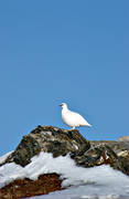 animals, birds, mountain, ptarmigan, ptarmigan, snow, stone, winter