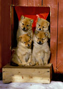 animals, brood, dog, dogs, finnish spitz, finnish spitz, mammals, puppies, puppies, puppy brood, rödsupp