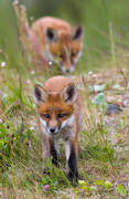animals, fox, fox, fox puppy, foxes, game, kid, mammals, puppy, red fox