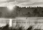 animals, bird, birds, dawn, ducks, red-throated loon, gavia stellata, sunrise