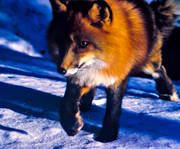 animals, fox, fox, mammals, red fox