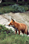 animals, beach, fox, fox, mammals, mountains, red fox