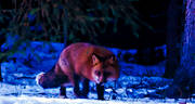 animals, creeping, creeps, fox, fox, mammals, red fox