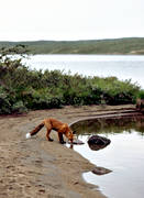 animals, drink, fox, fox, lake, mammals, mountain lake, red fox, vatten, water