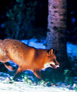animals, canidae, fox, fox, leap, mammals, red fox, running, runs