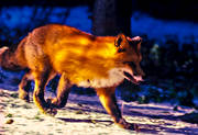 animals, fox, fox, leap, mammals, red fox, runs