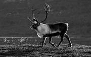 animals, backlight, black-and-white, evening, evening light, mammals, mountain, reindeer, reindeer, reindeer bull, reindeer ox, s/v