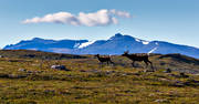 alpine, alpine landscape, animals, deer animals, högfjällen, Jamtland, landscapes, mammals, mountain, mountain range, mountains, nature, reindeer calf, reindeer cow, seasons, sommarfjäll, summer, sylarna, Sylmassivet, Syltoppen