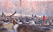 animals, culture, Lapland, mammals, mid-winter, reindeer, sami culture