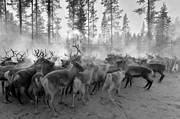 animals, cold, culture, mammals, reindeer, reindeer husbandry, reindeer separation, rendjur, renflock, saami people, sami culture, work