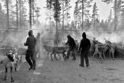 animals, cold, cold, culture, mammals, reindeer husbandry, reindeer separation, rendjur, renflock, saami people, sami culture, seasons, work