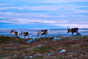 animals, deer animals, landscapes, mammals, mountain, mountains, nature, reindeer, rendjur, renflock