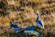 alpine bird, animals, bird, birds, forest poultry, hen bird, Lagopus muta, nature, ptarmigan, Rock Ptarmigan, rock ptarmigans