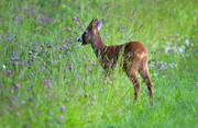 animals, be in country, bock, clover, clover ley, cultivation, cultivation rim, ley, mammals, meadow flowers, meadowland, pasturage, roebuck, temporary grasses, venison, äng