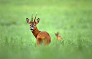 animals, be in country, bock, cultivation, grass, mammals, pasturage, roebuck, temporary grasses, venison