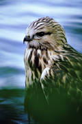 animals, bird, bird of prey, birds, buteonine, raptors, vatten, water, young bird