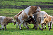 animals, be in country, beef cattle, beef cows, cows, domestic cattle, domesticated animal, estrus, ko, mammals, meat cow, meat production, mount, pasturage, pets, rutting, rutting behaviour, rutting, in heat