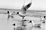 animals, birds, black-and-white, gulls, sea mew