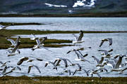 animals, bird, birds, gull bird, sea mew bird, gulls, Lapland, Lapland North, Padjelanta, Padjelanta Nationalpark, sea mew, seagull, seagulls