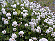 biotope, biotopes, clover, flourish, flowers, meadowland, meadows, nature, shamrock, white clover, �ng